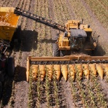 An Oxbo seed corn harvester hard at work.