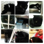 SPCA photo: A Collage of some of the black cats that was at SPCA to help fight the superstition of black cats.