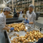 Pariveda Solutions photo: Chicago Fins sorting onions at the food depository
