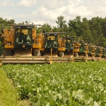 A fleet of Oxbo green bean harvesters and work during harvest