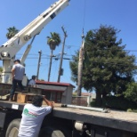 LEWIS TREE SERVICE, INC photo: Workers taking down a dying Palm tree