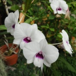 Old Dominion University photo: Dendrobium orchid at the Kaplan Orchid Conservatory at ODU.