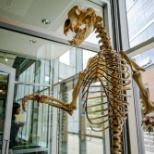 An ice cave bear skeleton in an Amazon building.