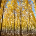 Greenwood Resources photo: GreenWood Resources Poplar Tree Farm