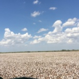 One of our plots (cotton.) Ready for harvest.